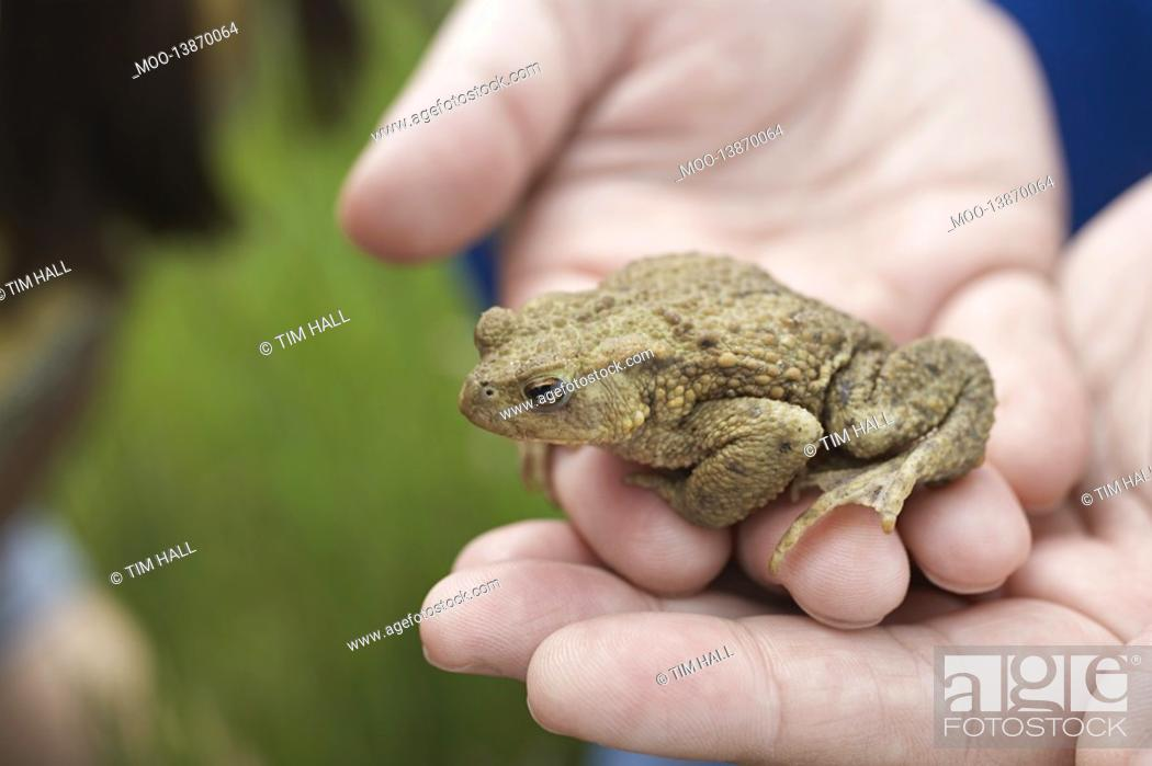 Stock Photo: Hands holding Toad close-up.