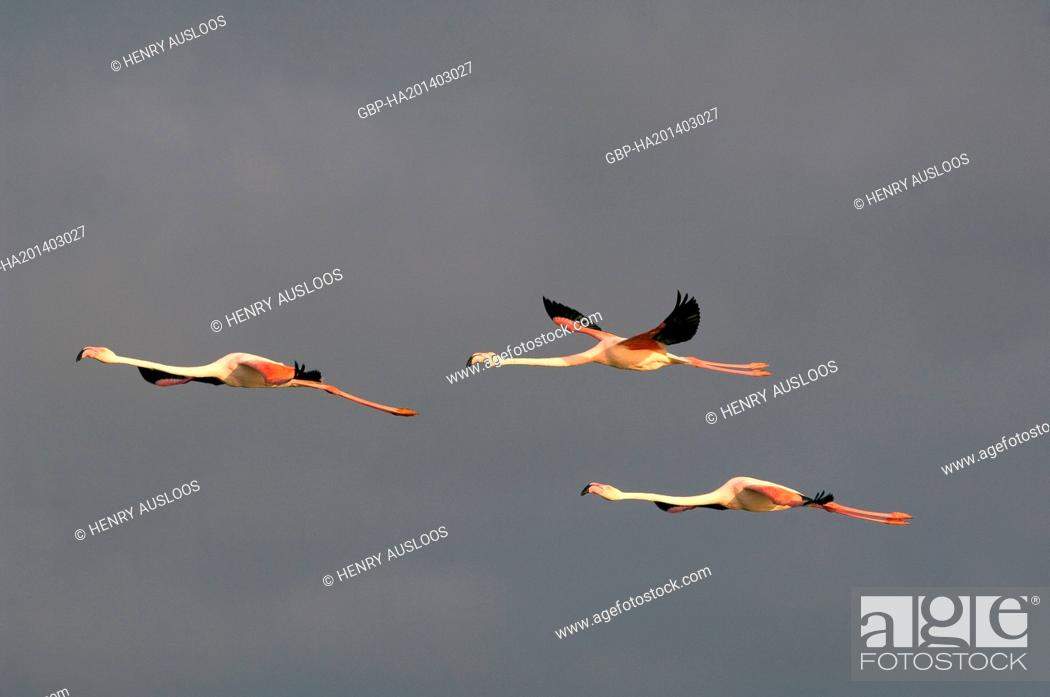 Stock Photo: Greater Flamingo, Phoenicopterus roseus, flying.