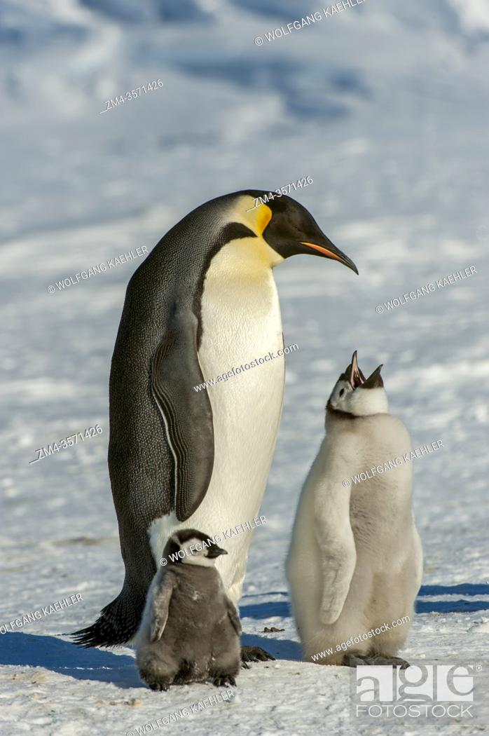 Imagen: An adult Emperor penguin (Aptenodytes forsteri) with chick at the Emperor penguin colony on the sea ice at Snow Hill Island in the Weddell Sea in Antarctica.