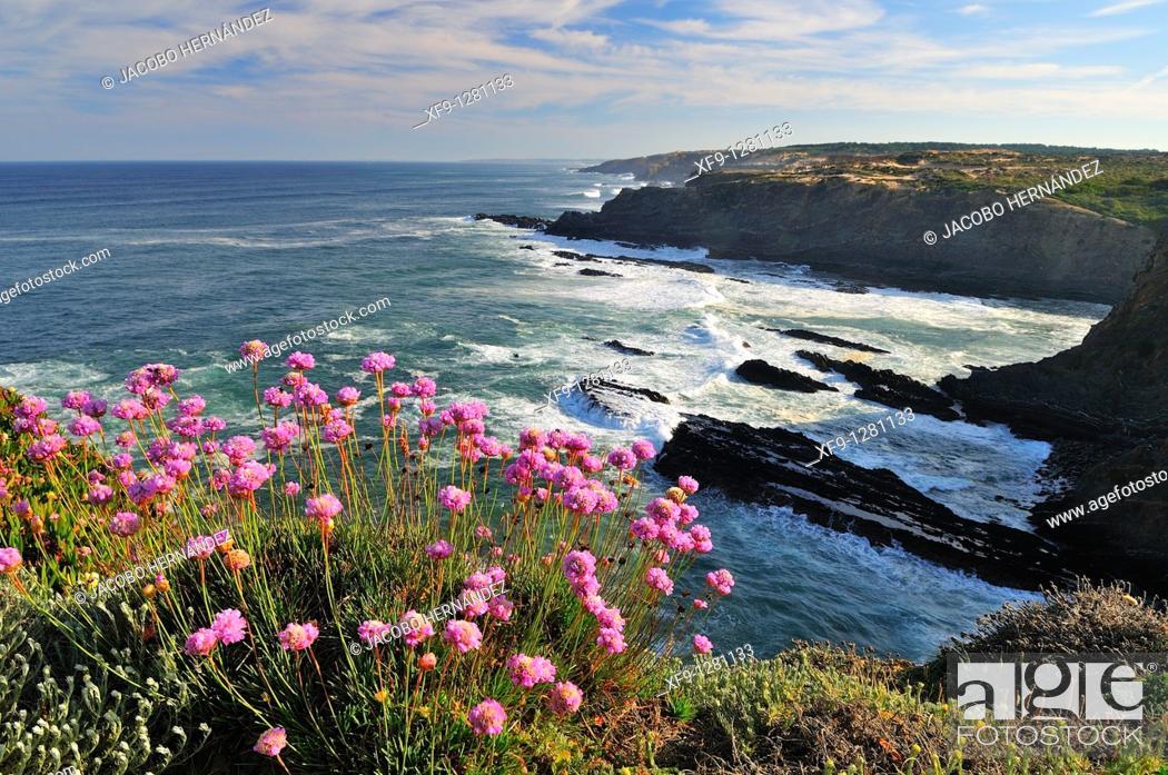 Stock Photo: Armeria maritima in Costa Vicentina  Portugal.