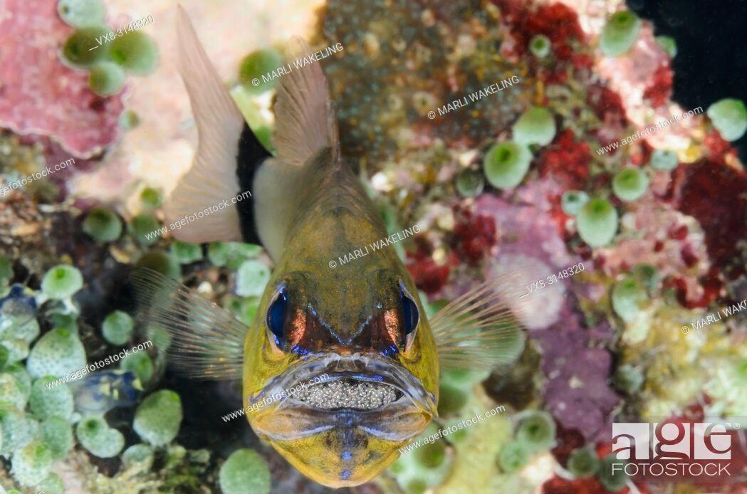 Stock Photo: Male Ringtailed cardinalfish, Apogon aureus, brooding eggs in its mouth, Puerto Galera, Oriental Mindoro, Philippines, Pacific.
