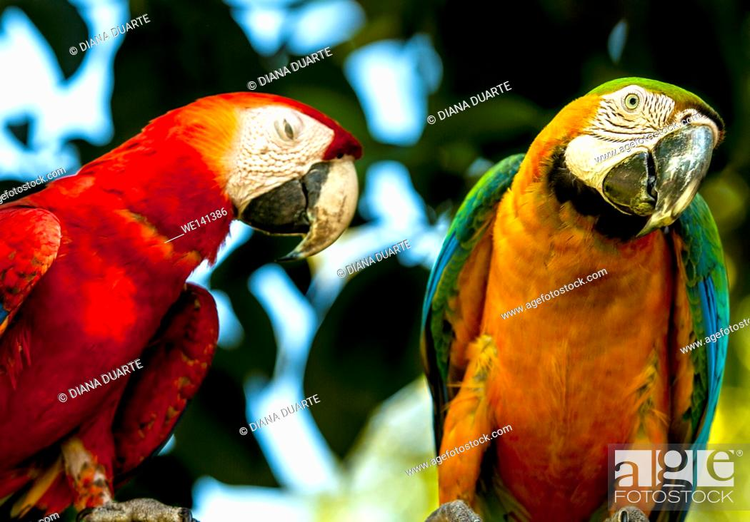 Stock Photo: ' Scarlet macaw', (Ara macao), As strong migratory birds, the macaws have adapted a low-pitched and throaty squawk intended to reverberate for miles.