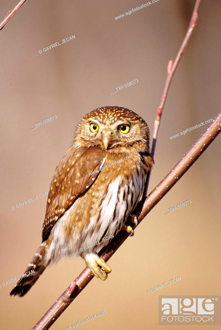 Stock Photo: N.A., USA, Washington, Olympic National Park, Ferruginous Pygmy-Owl - Glaucidium brailianum.