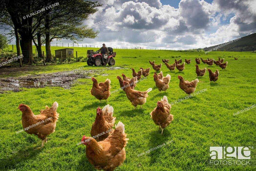Stock Photo: Domestic Chicken, freerange hens, flock in pasture, being fed by farmer on quadbike, Chipping, Lancashire, England, May.