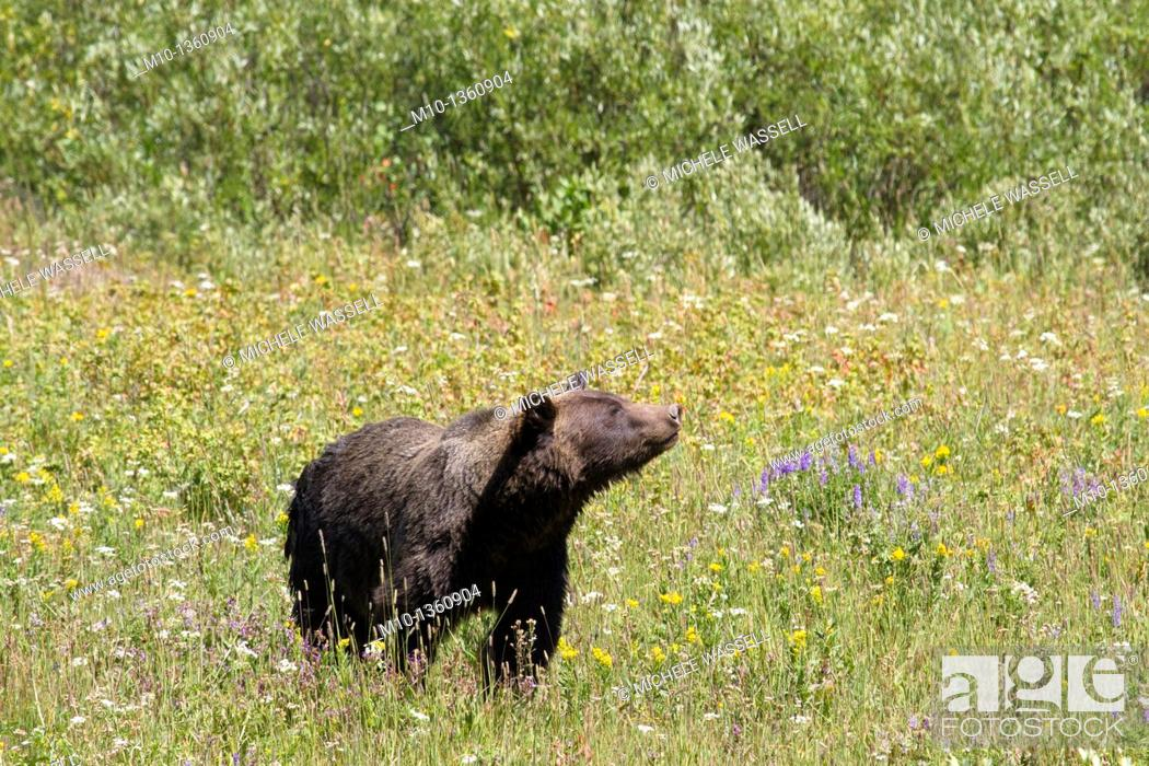 Stock Photo: Grizzly bear between Yellowstone National Park and Grand Tetons National Park, Wyoming, USA.