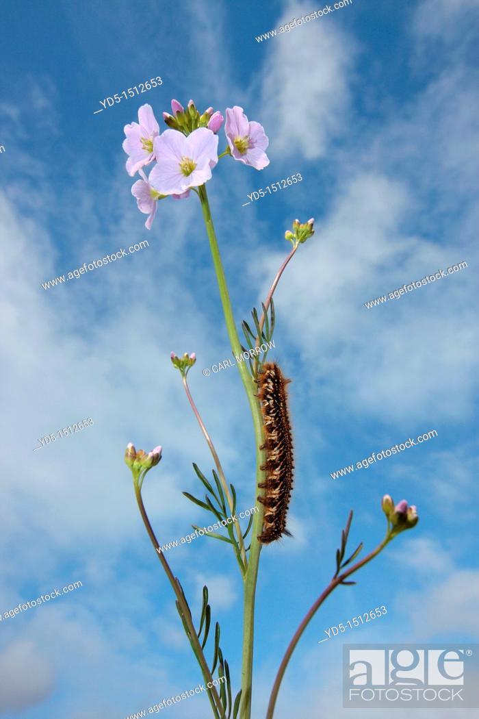 Stock Photo: Drinker Moth caterpilar Euthrix potatoria on a cuckoo flower.