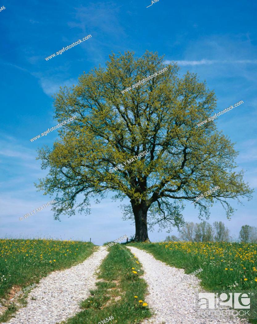 Stock Photo: Oak in spring.