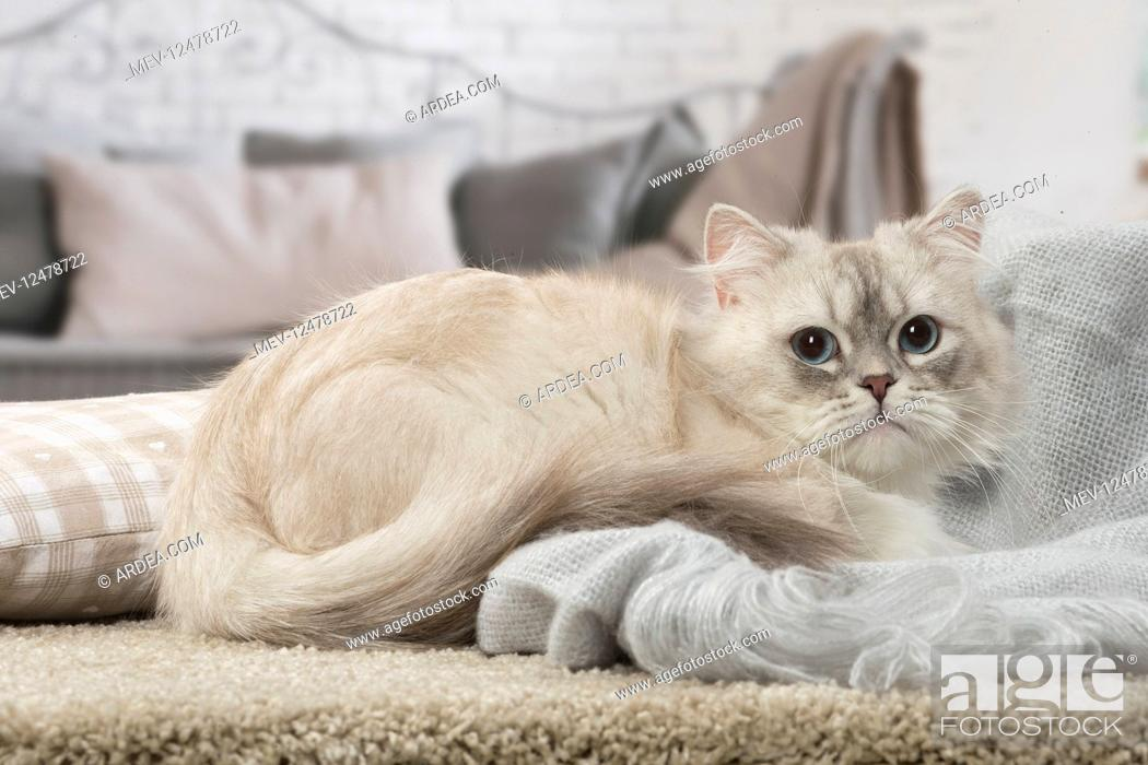 Stock Photo: Minuet Cat indoors.