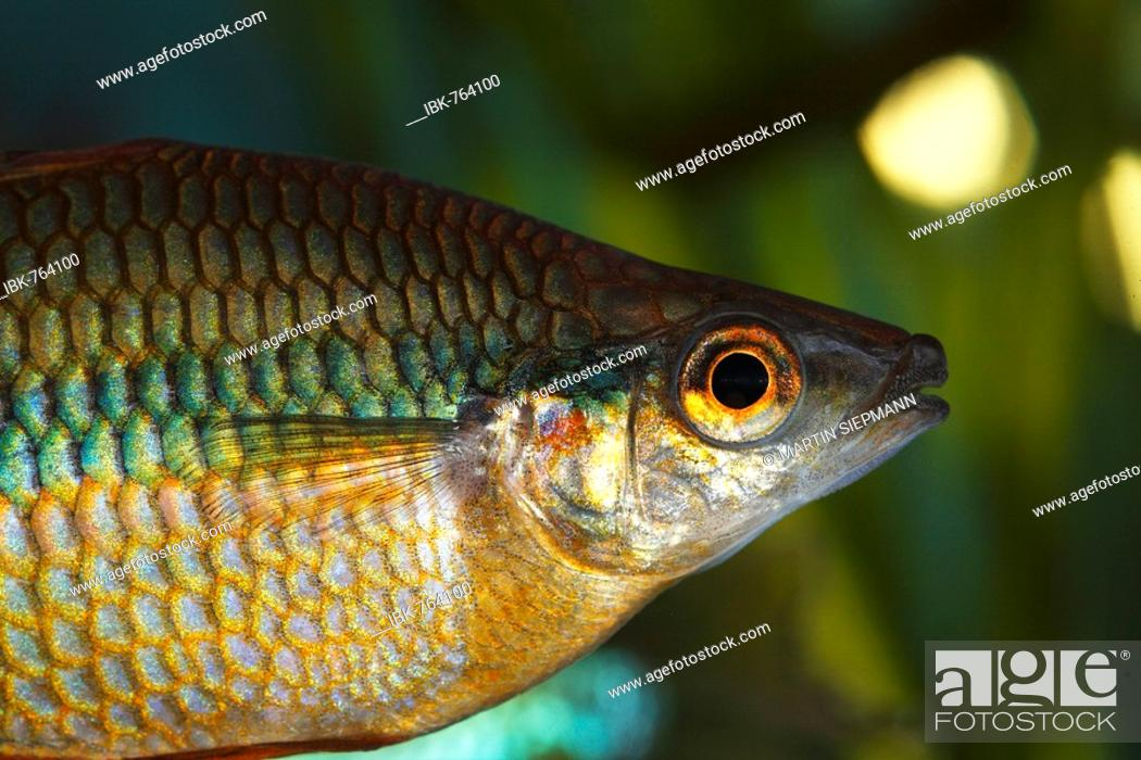 Goyder River Or Banded Rainbow Fish Melanotaenia Trifasciata