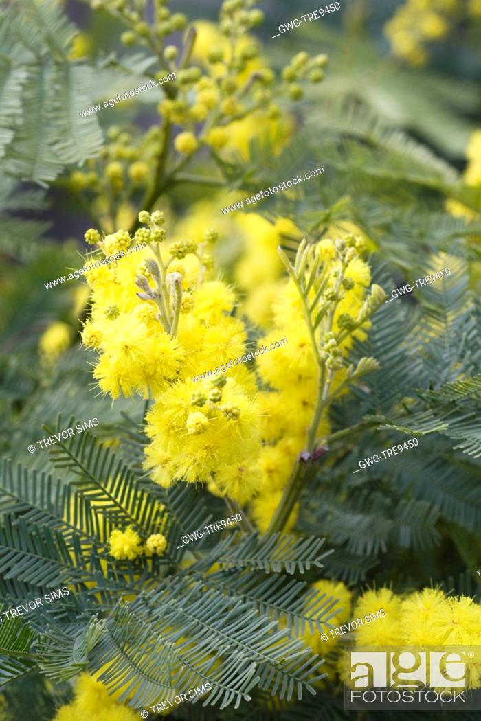 Acacia Dealbata Gaulois Astier Stock Photo Picture And Rights