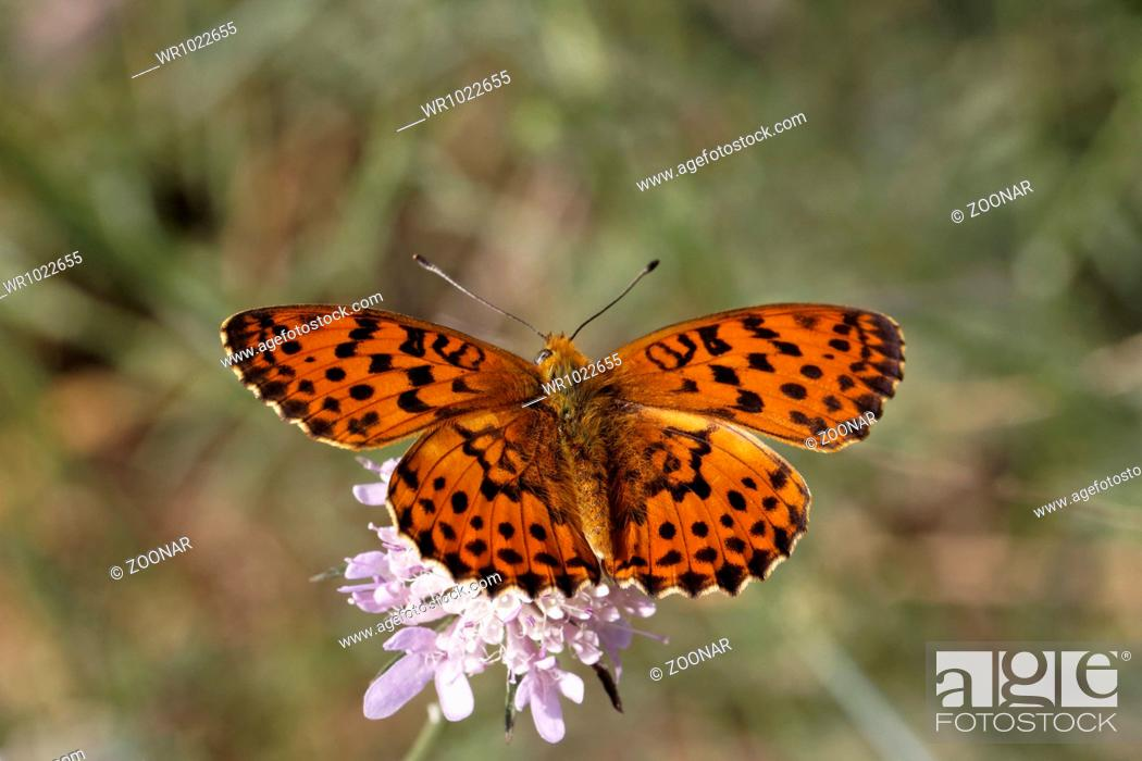 Stock Photo: Brenthis daphne, Marbled Fritillary.