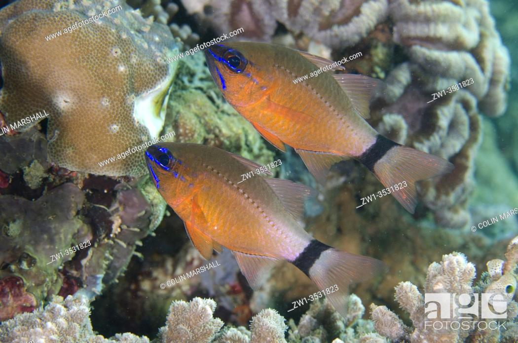Stock Photo: Pair of Ringtailed Cardinalfish (Ostorhinchus aureus), Laha dive site, Ambon, Maluku, Indonesia, Banda Sea.