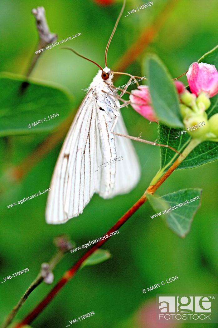 Stock Photo: Black-veined moth, Siona lineata hangs upside-down under a pink flower  From back Wings are fully open and expose underwing markings.