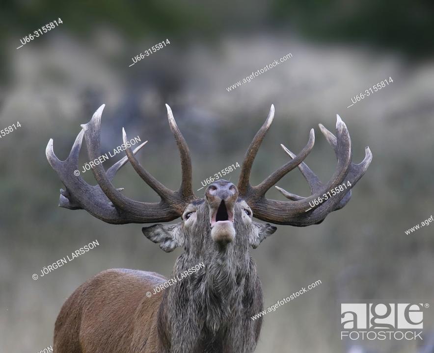 Stock Photo: Red Deer (Cervus elaphus), Jaegersborg, Denmark.