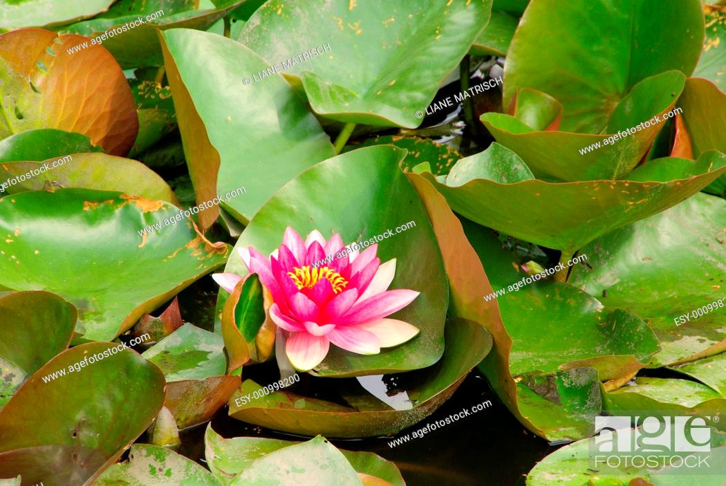 Stock Photo: Seerose - water lily 34.