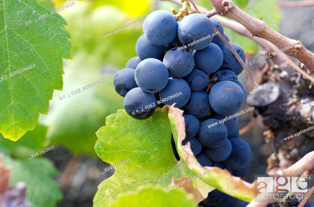 Stock Photo: Grapevine at Haria village  Lanzarote, Canary Islands, Spain.