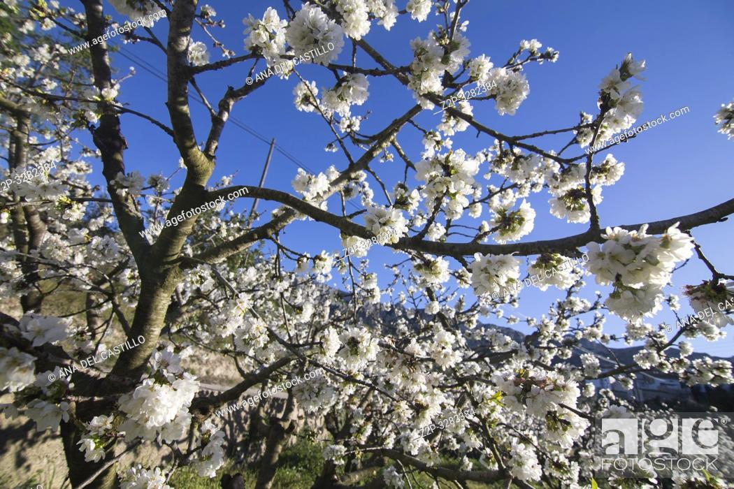 Stock Photo: Cherry blossom in Gallinera valley Located in the northeast of the province of Alicante, in the comarca of Marina Alta Spain.