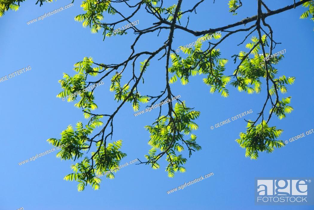 Stock Photo: Walnut tree branch, Willamette Mission State Park, Oregon.