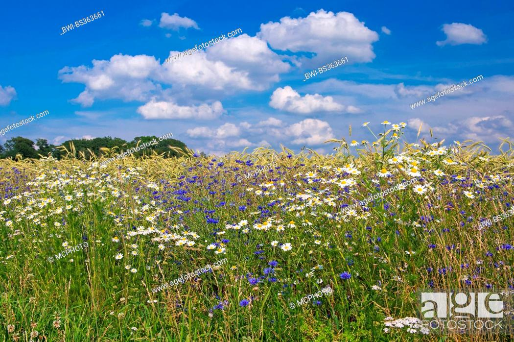 Stock Photo: bachelor's button, bluebottle, cornflower (Centaurea cyanus), cornflowers in a cornfield, Germany, Lower Saxony, Oldenburger Muensterland.
