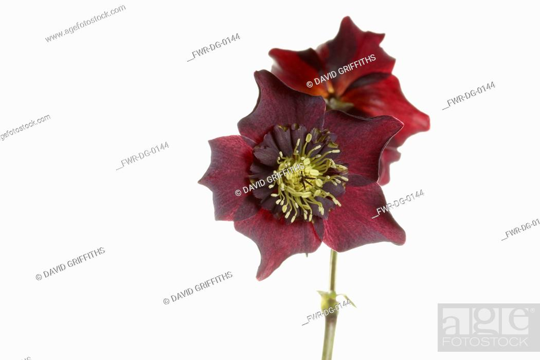 Imagen: Hellebore, Open black hellebore flower head on a stem, with a second flower in back view, against a pure white background.