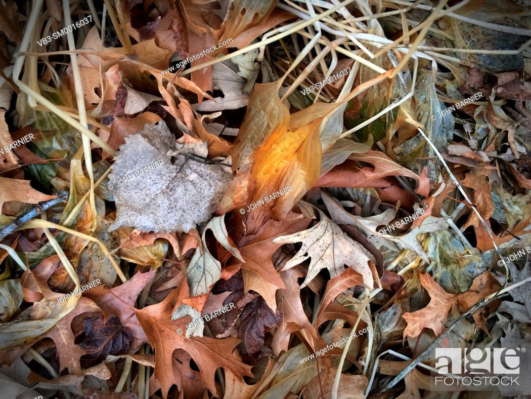 Stock Photo: Transparent and decomposing Hosta Royal Standard leaves among other dead autumn leaves, including white oak, red oak, elm, basswood, and maple.