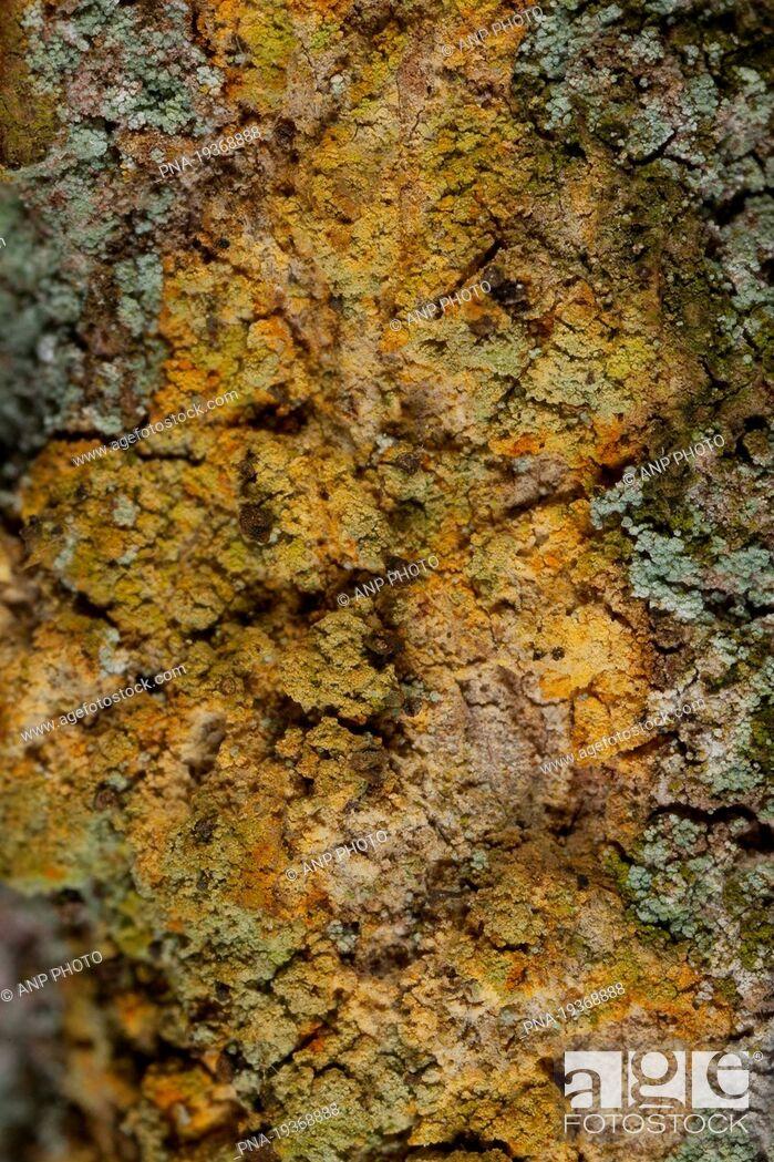 Stock Photo: Chaenotheca ferruginea - Landgoed Leuvenhorst, Hulshorsterzand, Ermelo, Veluwe, Gelderland, Guelders, The Netherlands, Holland, Europe.