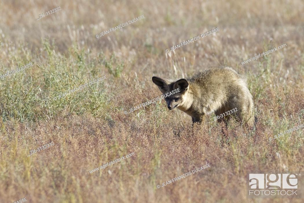 Stock Photo: Bat-eared fox (Otocyon megalotis) searching for prey in dry grass, Kgalagadi Transfrontier Park, Northern Cape, South Africa, Africa.