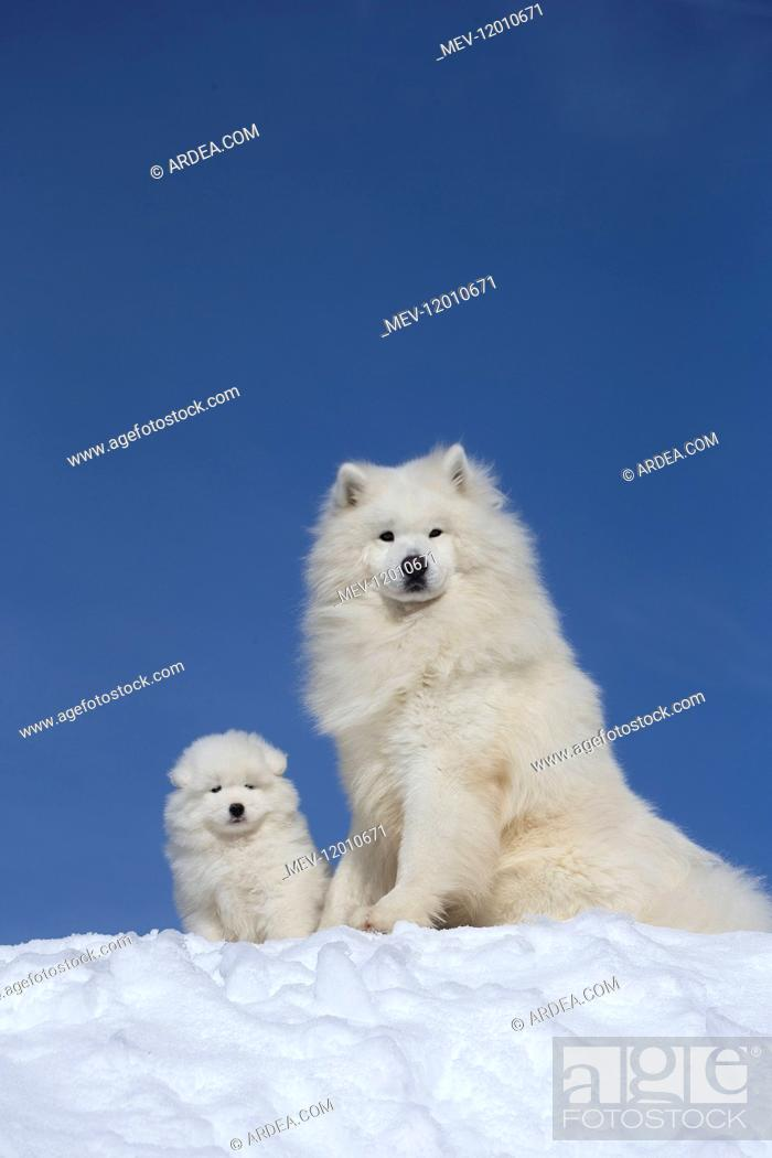 Stock Photo: Samoyed dogs in winter snow.
