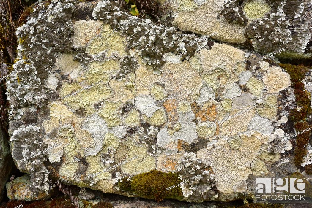 Imagen: Ochrolechia sp. (centrum) and Parmelia tiliacea (left and above) growing on a granitic rock. This photo was taken in Arribes del Duero Natural Park.