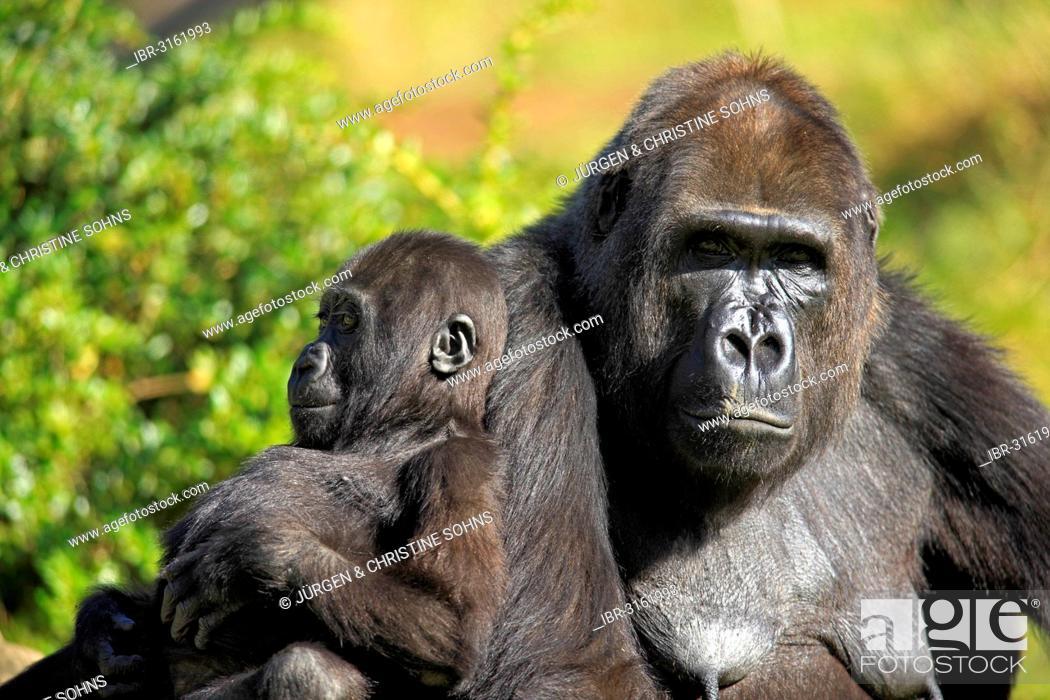 Stock Photo: Western Lowland Gorilla (Gorilla gorilla gorilla), adult female with an infant, captive, Apenheul Primate Park, Apeldoorn, Gelderland, The Netherlands.