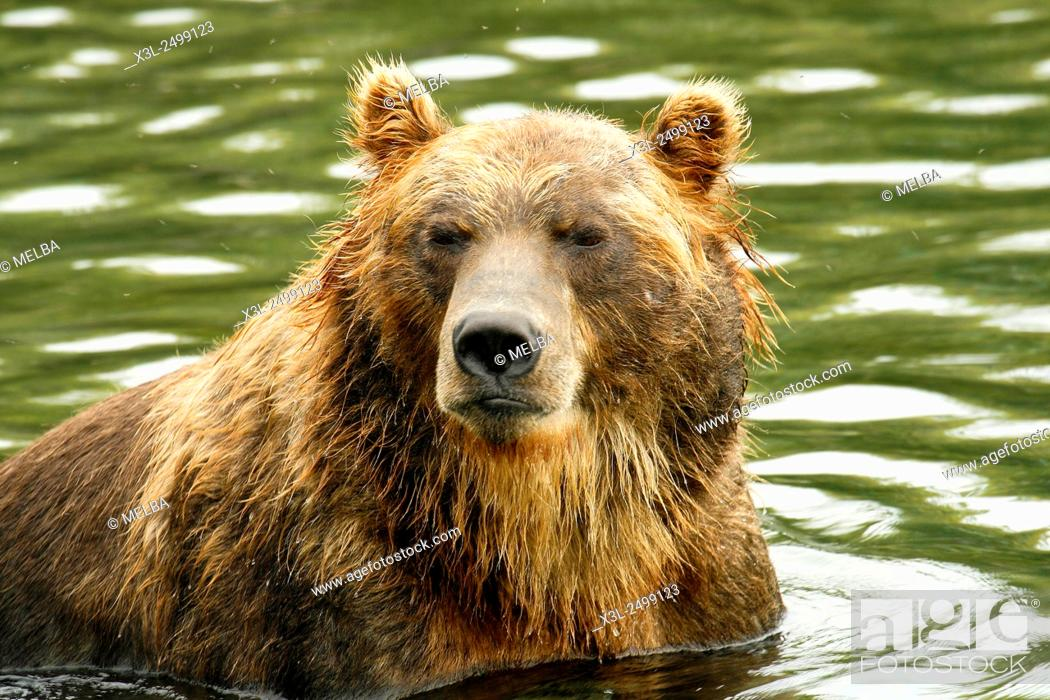 Stock Photo: Brown Bear (Ursus arctos) in Kurile Lake, Kamchatka Peninsula. Russia.