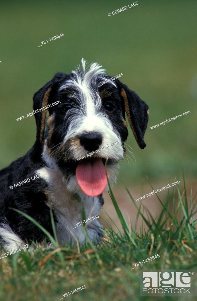 Stock Photo: CESKY DOG, PORTRAIT OF ADULT WITH TONGUE OUT.