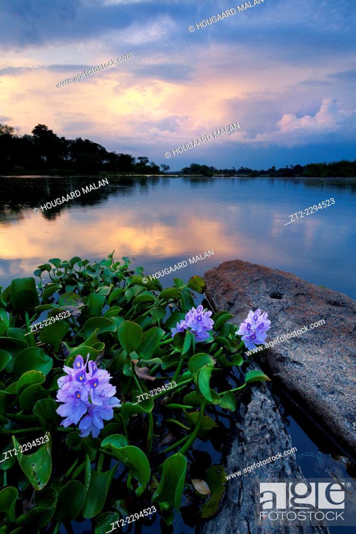 Stock Photo: Landscape photo of lilies on the Zambezi river. Near Victoria Falls, Zimbabwe.