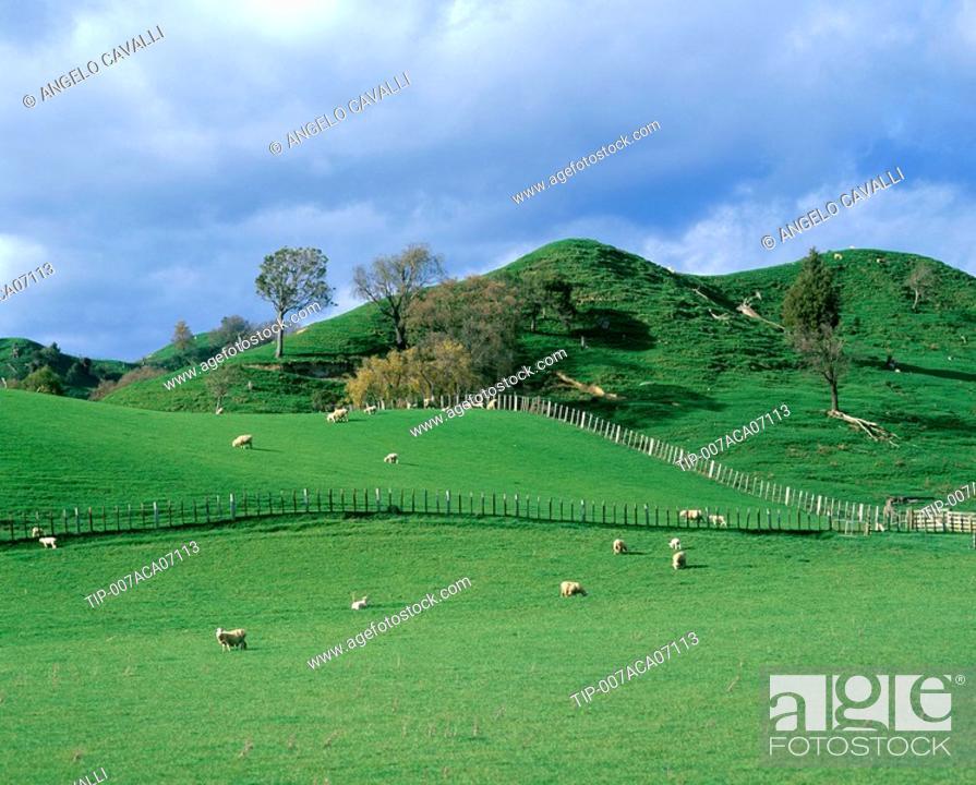 Stock Photo: New Zealand, North Island,sheep grazing in field.