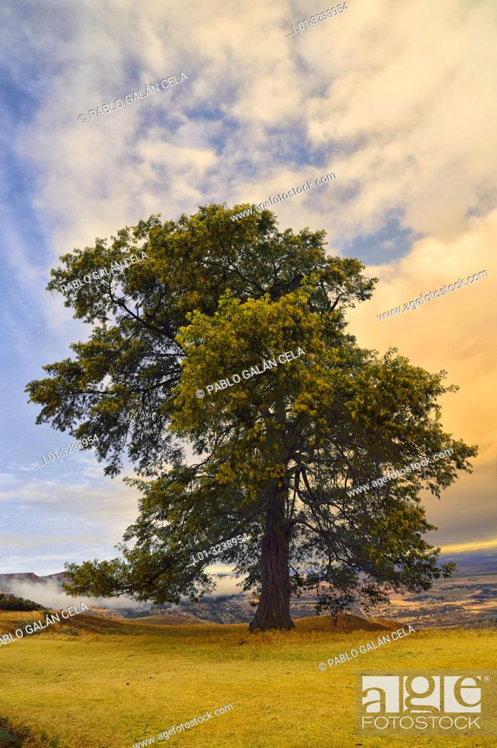 Imagen: Acacia at sunset in the Drakensberg Mountains. South Africa.