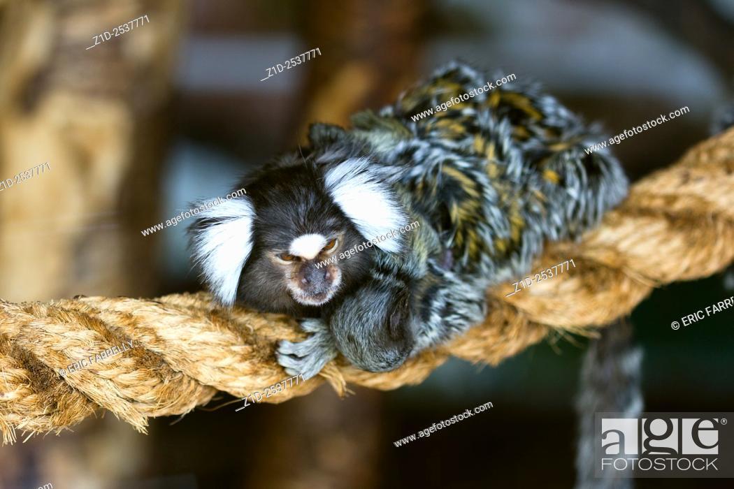 Imagen: common marmoset . Scotland wildlife centre. callithrix jacchus.