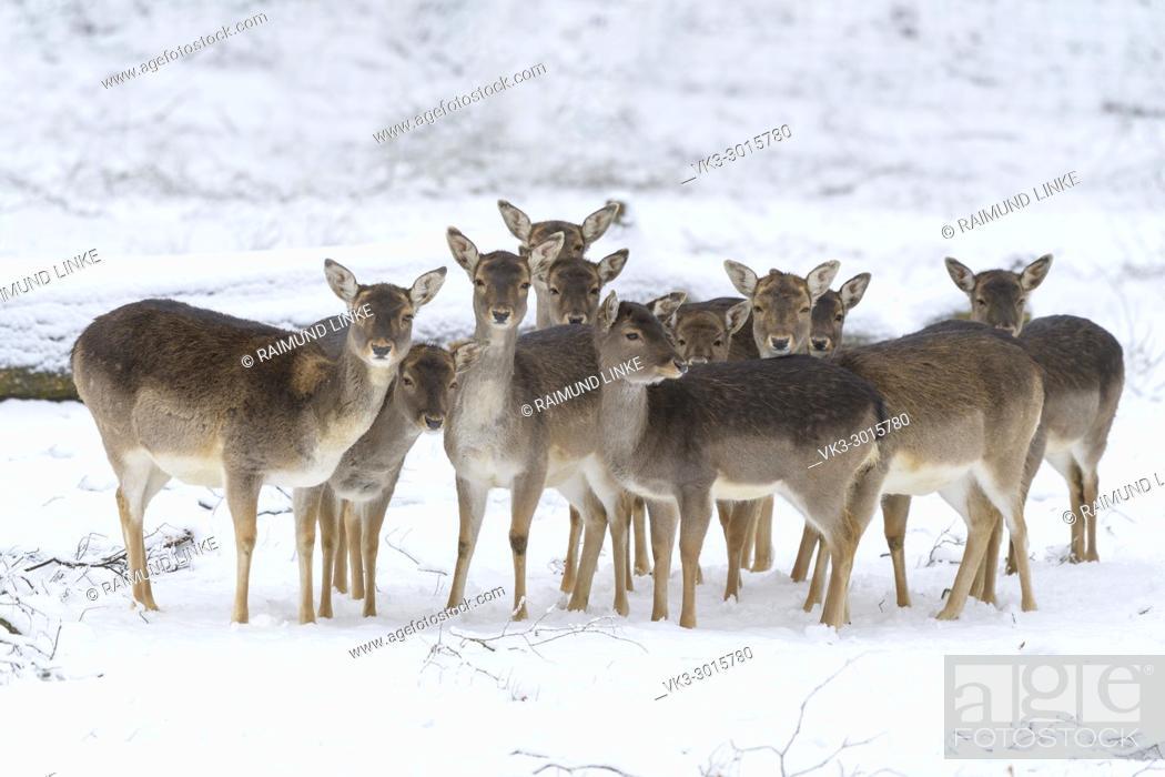 Photo de stock: Fallow deers in winter, Dama dama, Germany.