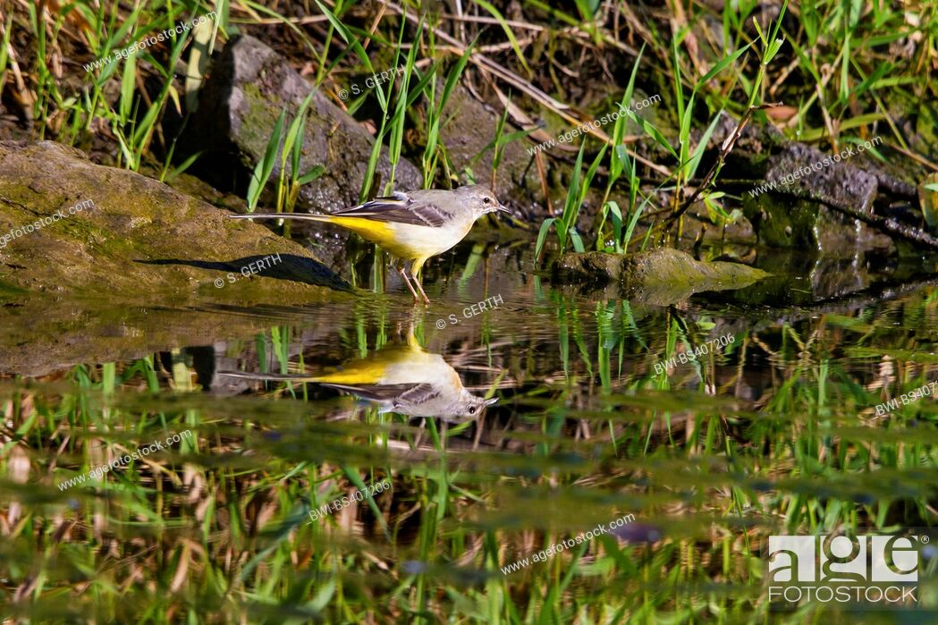 Imagen: grey wagtail (Motacilla cinerea), on the feed, mirroring on water surface, Switzerland, Lake Constance.