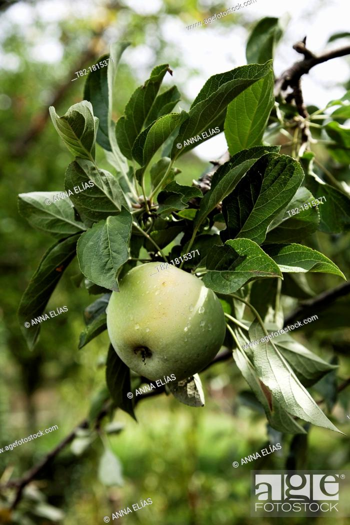 Stock Photo: detail of apple tree with ripe fruit and leaves Rondeño Malaus communis.