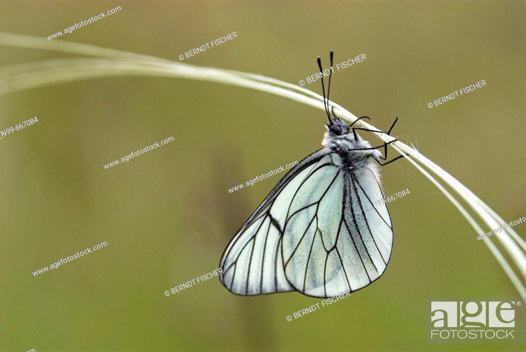 Stock Photo: Black-veined white (Aporia crataegi), hanging on feather grass, dry meadow, National Park of Ecrins, French Alps, Haute Dauphiné, France.