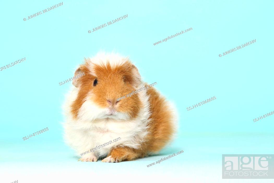 Imagen: US-Teddy Guinea Pig, seen head-on. Studio picture against a light blue background.