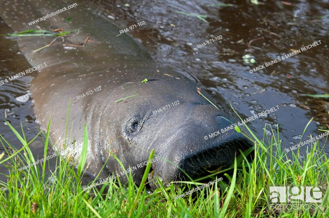 Stock Photo: West Indian manatee (Trichechus manatus) in the Botanical Gardens in Georgetown, Guyana, South America.