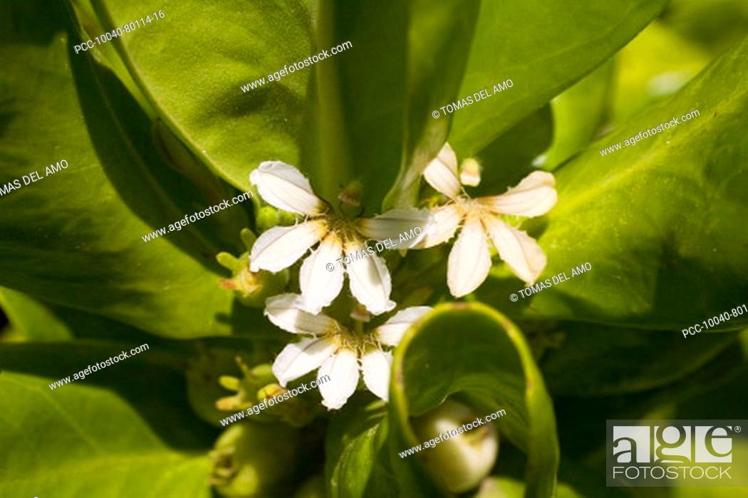 Stock Photo: White flowers with spiky petals amongst bright green leaves.