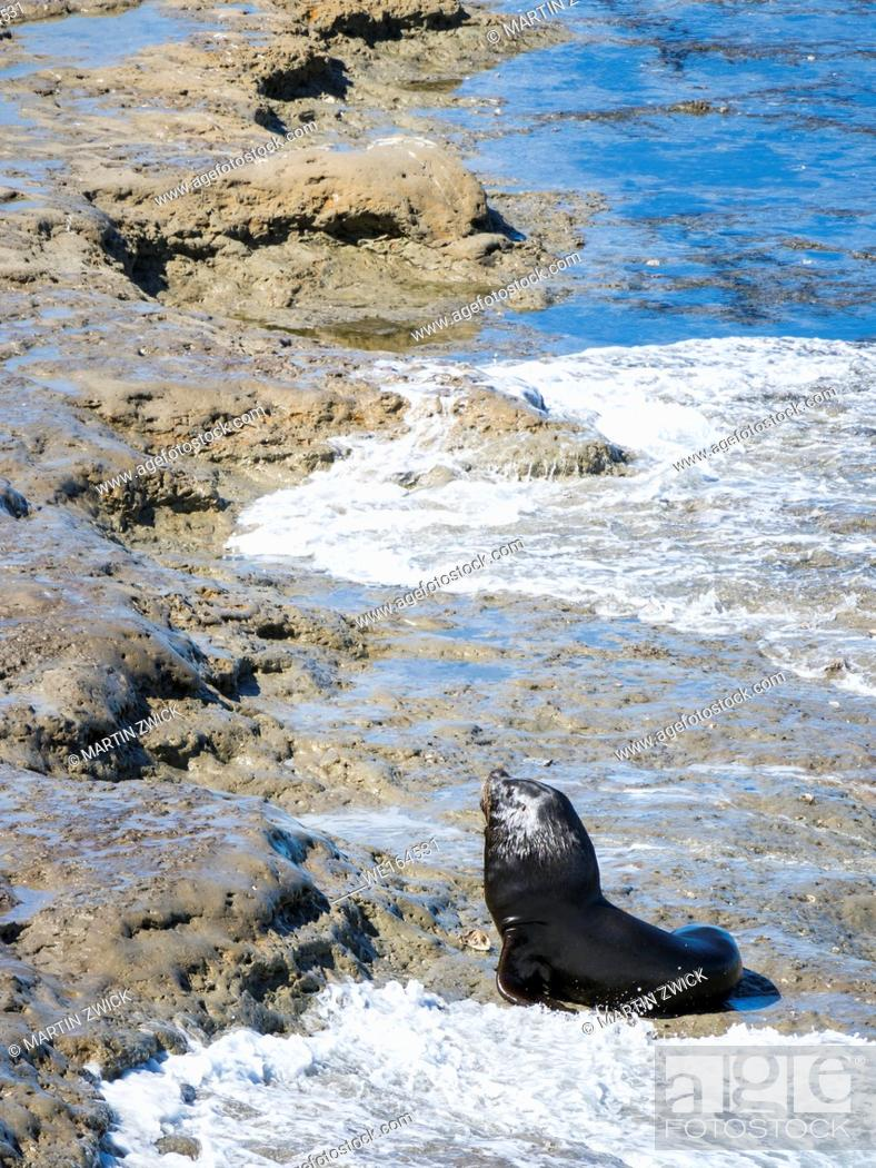 Imagen: South American sea lion (Otaria flavescens) also called Southern Sea Lion and Patagonian Sea Lion, colony in the National Park Valdes.