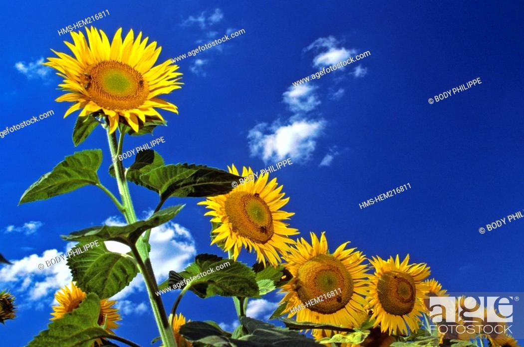 Stock Photo: France, Deux Sevres, sunflowers.