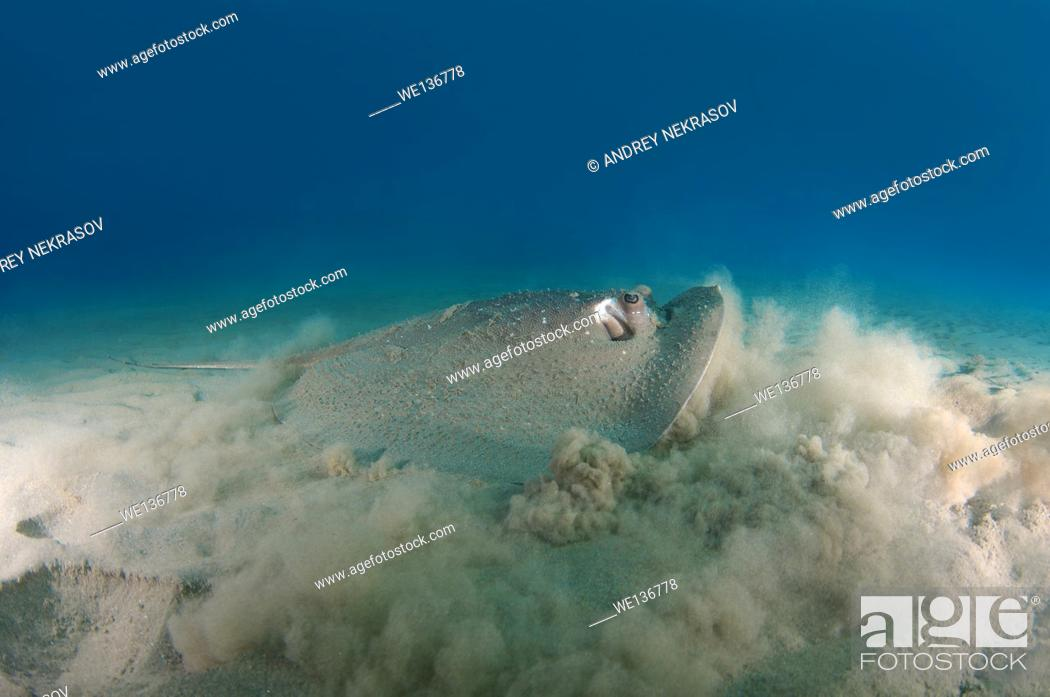 Stock Photo: African ray or Porcupine ray (Urogymnus asperrimus) It raises a cloud of dust for masking, Red sea, Marsa Alam, Abu Dabab, Egypt.