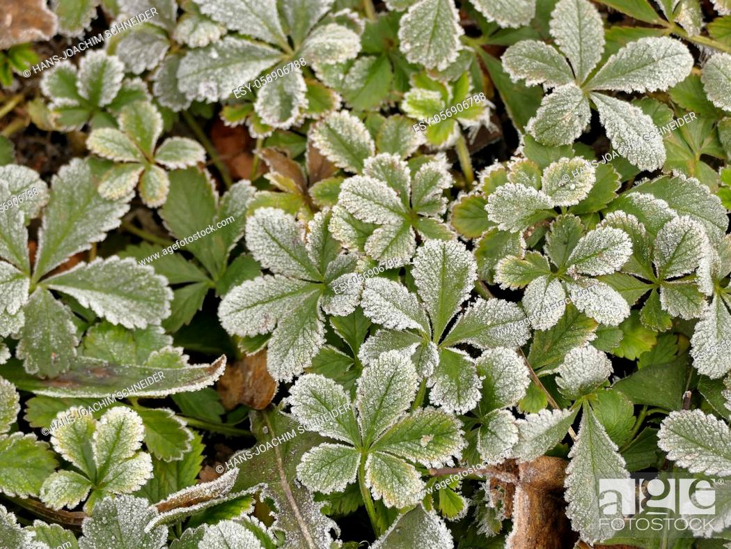 Stock Photo: hoarfrost on goose weed in winter.