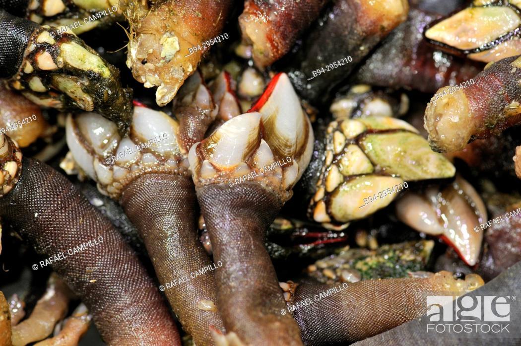 Stock Photo: Barnacles (Pollicipes pollicipes). La Boqueria market, Barcelona. Catalonia, Spain.