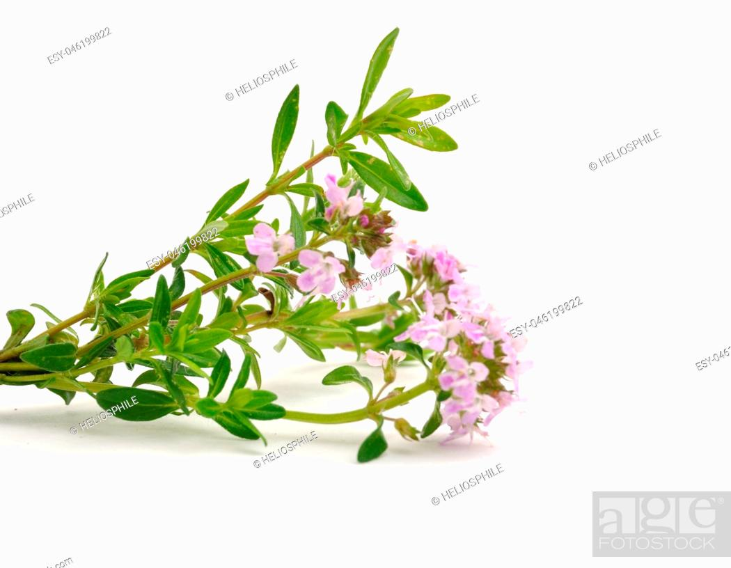 Stock Photo: thyme flowers.