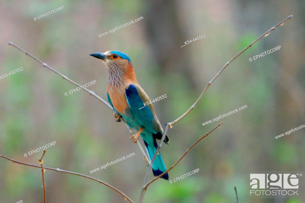 Stock Photo: Blue jay or Indian roller (Coracias benghalensis) Kanha National Park, Madhya Pradesh, India.